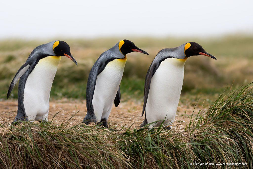 King Penguins in Tierra del Fuego