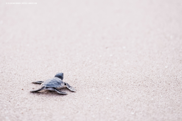 Baby turtle rushing to the sea